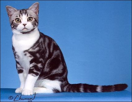 American Shorthair Cat Harga